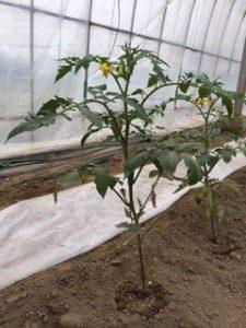 ビニールハウスに植え付けられた直後の男気トマトの苗