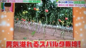 当農園独自の無かん水栽培(スパルタ栽培)の様子