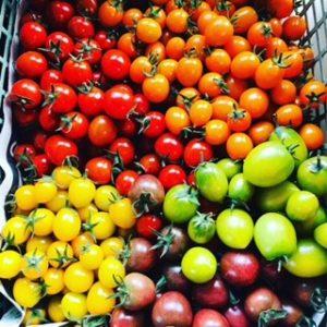 収穫直後の男気トマト(カラフルミニトマト)